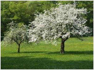 obstbaumpflege-obstbaumschnitt