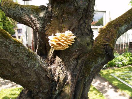 Holzzersetzender Pilz an einem Kirschbaum - Schwefelporling