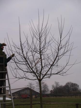 Ein fachgerechter Erziehungsschnitt ist eine wichtige Voraussetzung für ein langesn Baumleben