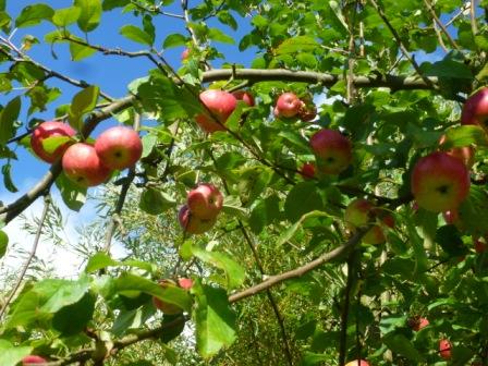 """Saftige Früchte - der """"Lohn"""" für eine gute Pflege"""