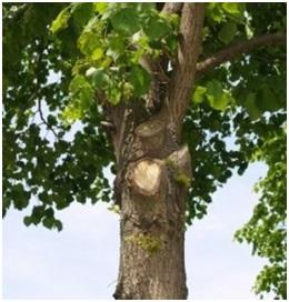 richtige-jungbaumpflege
